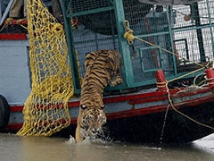 Tigers At Sundarbans In Bengal Find Lockdown Grrreat