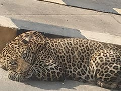 Leopard Spotted Lying On Hyderabad Road Amid COVID-19 Lockdown