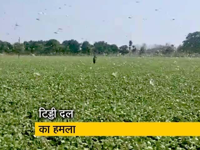 Videos : मध्य प्रदेश: टिड्डियों ने बढ़ाई किसानों की चिंता