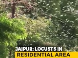 Video : Swarms Of Locusts Enter Jaipur Residential Areas