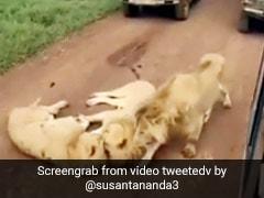 जंगल सफारी के दौरान सड़क पर आकर एक के ऊपर एक लेट गए तीन शेर, ऐसे सहम गए लोग... देखें Video