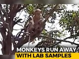 Video : Monkey Steals COVID Patients' Blood Samples In UP, Eats Surgical Gloves