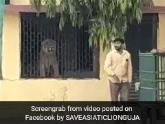 Video: Lion Searching For Food Enters Gujarat School, Rescued