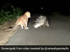Watch Who Came Out On Top In This Leopard vs Porcupine Video