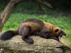 Rare Wolverine Sighting Surprises Wildlife Officials