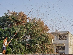 Drones To Track Swarms Of Locusts Destroying Crops In India