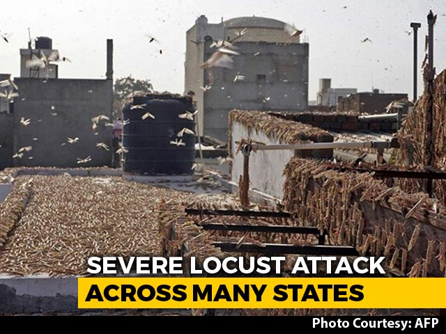 Video : India's Locust Nightmare Spreads To Maharashtra, UP; High Alert In Punjab