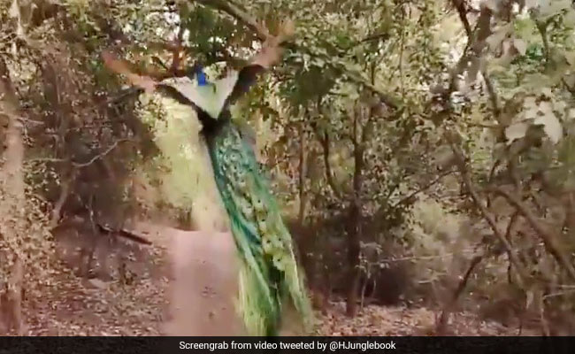 VIDEO: जंगल के बीच मोर का इस तरह से उड़कर पेड़ पर बैठना, शायद ही आपने पहले कभी देखा हो