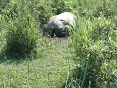 Rhino Poached, Horn Hacked Off In Assam's Kaziranga, AK-47 Bullets Found