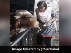 बहुत दिनों तक नहीं मिलने नहीं आई गाय, महिला हो गई नाराज, फिर ऐसे हुई दोस्ती, देखें ये Viral TikTok Video