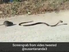 बच्चे को बचाने के लिए सांप से भिड़ गई चुहिया, पीछे से पकड़ी पूंछ और फिर... देखें पूरा Video