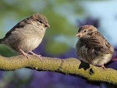 Over 250 Sparrows Die In Maharashtra After Heavy Rain
