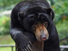 Poacher Arrested For Killing Pregnant Asiatic Black Bear In Meghalaya