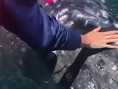 Tourist Pets Curious Baby Whale In Incredible Video