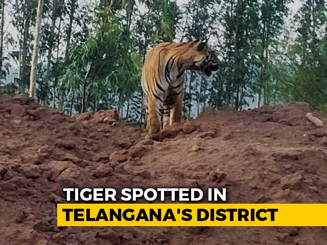 Video : On Camera, Tiger Takes A Stroll Near A Mine In Telangana