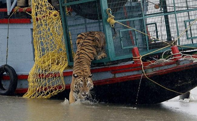 Tigers At Sundarbans In Bengal Find Lockdown Grrreat