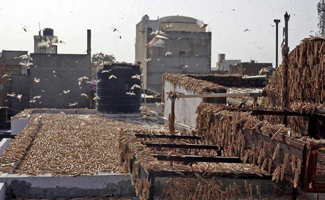 India's Locust Nightmare Spreads To Maharashtra, UP; High Alert In Punjab