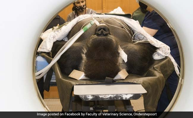 Gorilla Weighing 210 Kg Airlifted From Zoo For CT Scan