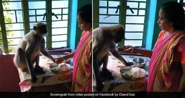 Watch: Video Of A Bengali Woman Feeding To Langur With Her Hands Inside The House, Goes Viral