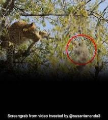बंदर का शिकार करने के लिए पेड़ पर चढ़ गया तेंदुआ, पास आकर किया Attack तो हुआ ऐसा... देखें पूरा Video