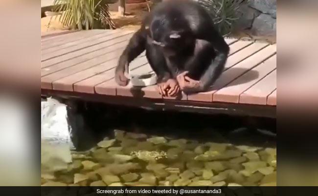 नदी किनारे मछलियों के साथ मस्ती करता दिखा चिंपांजी, फिर ऐसे खिलाया खाना... देखें Viral Video
