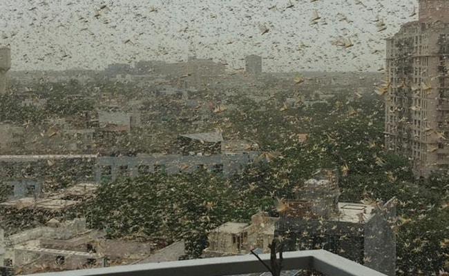 In Pics: Gurugram Sky Turns Dark As Crop-Destroying Desert Locusts Enter