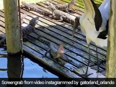 Watch What Happened When Little Alligators Took On A Gigantic Stork