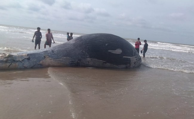 35-Foot Whale Washes Up On Bengal's Mandarmani Beach