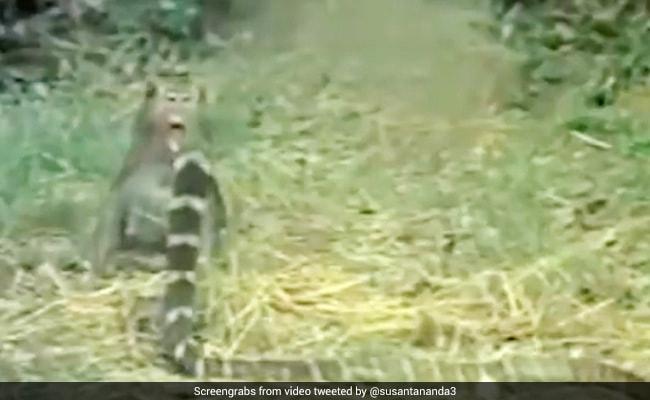 बंदर पर अटैक करने आ गया किंग कोबरा, गुस्से में पकड़ी पूंछ और किया ऐसा... देखें Fight का पूरा Video