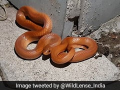 """Very Rare"" Red Snake Spotted In Uttar Pradesh. ""Beautiful,"" Says Twitter"