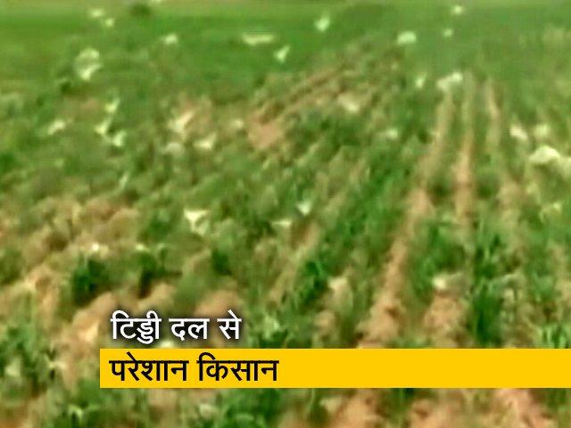 Video : हरियाणा के रेवाड़ी पहुंचा टिड्डी दल, फसलों को भारी नुकसान की आशंका