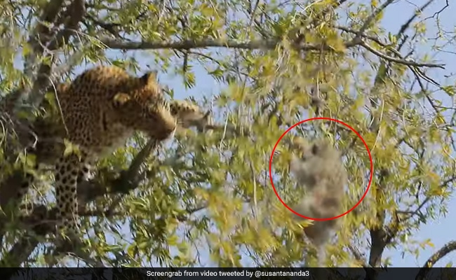 Leopard Tries To Shake Monkey Down From Tree In Incredible Video