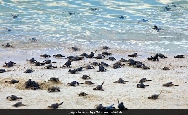 1.48 Crore Olive Ridley Turtles Born At Odisha Beach