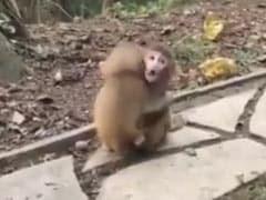 दो बंदरों ने इस तरह लगाया एक दूसरे को गले, लोगों को याद आ गई जय- वीरू की दोस्ती.... देखें Viral Video