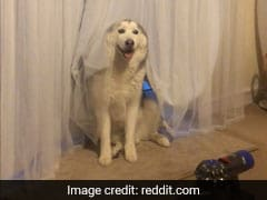 Silly Dogs Trying (And Failing) To Hide Behind Curtains Will Make You LOL