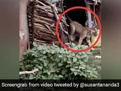 घर के अंदर घुसा बाघ, देखते ही चीख पड़े गांव के लोग, बाहर निकला और फिर... देखें Viral Video