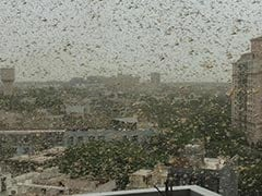 In Pics: Gurugram Sky Turns Dark As Crop-Destroying Desert Locusts Enter
