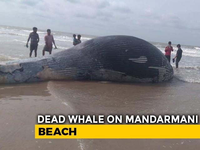 Video : 35-Foot Whale Washes Up On Bengal's Mandarmani Beach