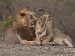 "PM Modi Shares Some ""Very Good News"" About Gir Lions"