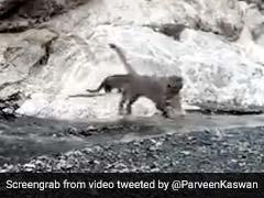 मुंह में बच्चे को दबाकर तेंदुए ने ऐसे पार की नदी, घूरकर देखा CCTV कैमरा और फिर... देखें Viral Video