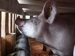 Booming Airline Business: Flying Pigs To China In 747 Jumbo Jets