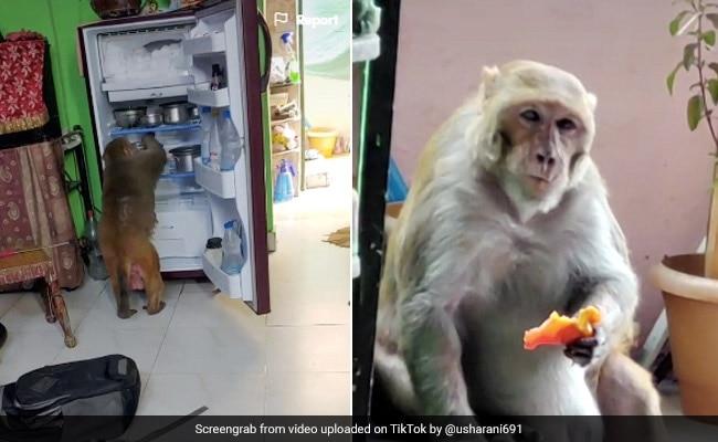 घर में घुसकर भूखे बंदर ने मचाया आतंक, टमाटर खाकर खोला फ्रिज और फिर... देखें Viral Video