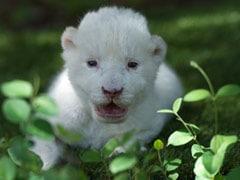 In Spain, The White Lion Cub Whose Mum Didn't Want Him