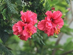 Hibiscus In Indian Beauty Remedies, From Youthful Skin To Radiant Hair