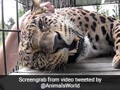 तेंदुए को सहलाने के लिए शख्स ने पिंजरे के अंदर डाला हाथ, जानवर ने पैर से पकड़ा और फिर... देखें Video