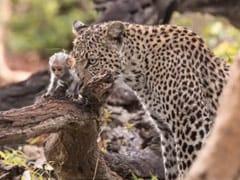 बंदर के बच्चे को देख पास पहुंचा भूखा तेंदुआ, पहले उसके साथ खेला और फिर... देखें पूरा Video