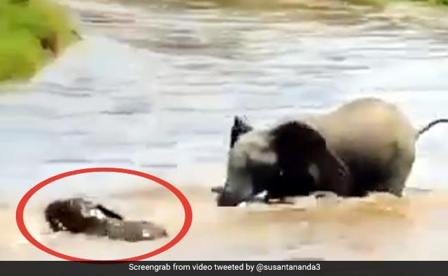 नदी में डूब रहा था हाथी का बच्चा, मां ने पीछा कर सूंड से पकड़ा गला और फिर... देखें पूरा Video