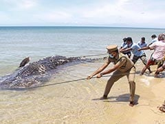 Carcass Of 18-Feet-Long Whale Shark Washes Up On Tamil Nadu Beach