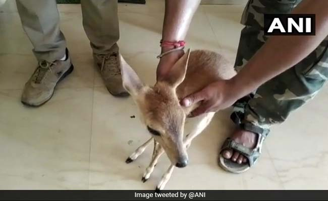 Barking Deer Rescued From Odisha Farmer's Home After Tip-Off