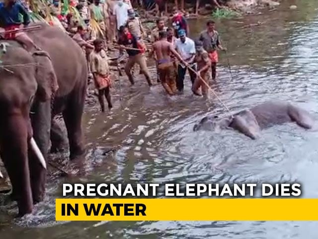 Video : Elephant That Ate Cracker-Stuffed Pineapple Walked For Days In Pain